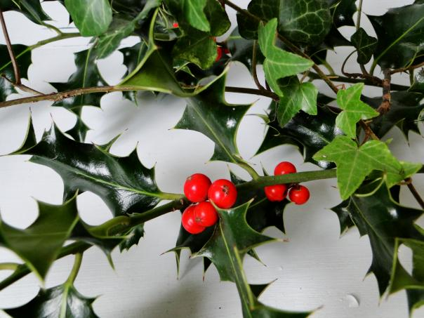 A sprig of holly wrapped in an ivy vine is set against a white background. The holly has 6 red berries, and the plants cast a light shadow on the background.